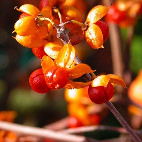 Celastrus orbiculatus 'Diana', Japansk träddödare, honklon. Snabbväxande klätterväxt.  Mycket vacker höstförg.   Ger mängder av orangröda dekorativa bär på hösten om en hanklon finns i närheten.  Övervintrar ute planterad på varm och skyddad plats.  Odlas annars i kruka och tas in till vintern.  Zon III?