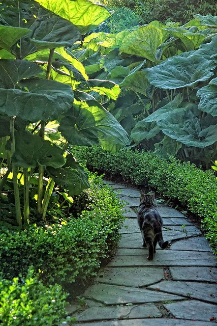 Path lined with boxwood and elephant ears