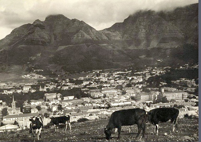 Cattle in Cape Town 1922