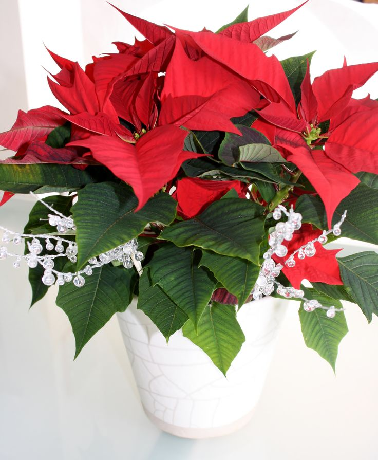 #poinsettiaplant #poinsettiasflower, #poinsettiashome #christmaspoinsettias #blackpot #decor #diy #jardineria