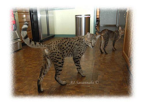 F2 Savannah cat in Kitchen