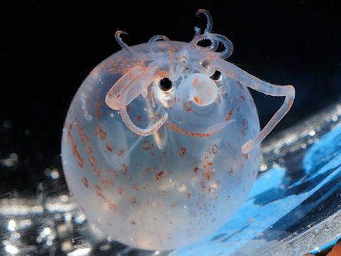 Calamar porcelet Nom: calamar porcelet (Calamar porcinet) Classe: Cephalopode Ordre: Teuthida Famille: Cranchiidae Nom binominal: Helicocranchia pfefferi Taille: 6 à 7 cm Territoire: Presque tout les océans Habitat: Eaux profondes Alimentation: Petites...