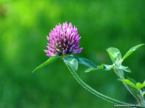 Фотография Цветущий клевер, зеленое, лучшее, трава, цветы - Цветы - Обои для рабочего стола. Wallpapers