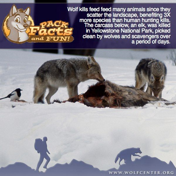 Wolf Facts--Wolf Kills Feed Many Animals  Since the Kills are Scattered and Benefit 3X More Species than Human Hunting Kills--WERC Photo