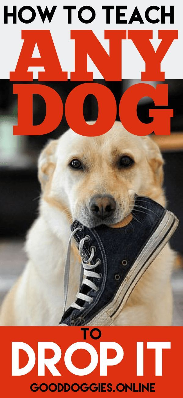 """Teach your dog the """"drop it"""" command with these #dogtraining tips from #GoodDoggies Online. #dogs"""
