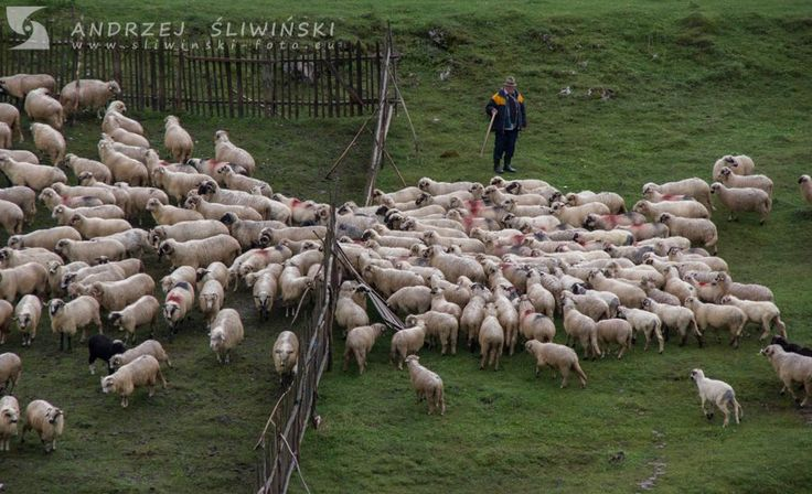 Shepherd and his flock. Such a scenes are characteristic for the Carpathian countries. This picture was taken in Romania.