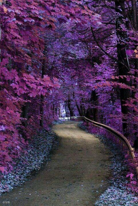 Path lined with purple foliage