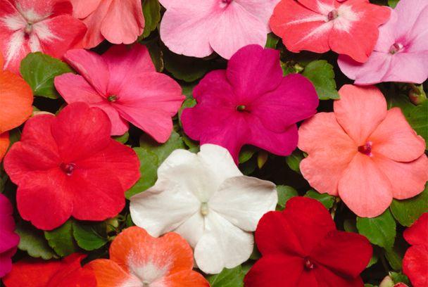 11 mejores im genes sobre alegria del hogar en pinterest b squeda - Planta alegria de la casa ...