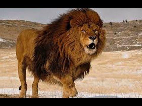 DOCUMENTARY    LIONS     IN     THE    SAVANNAH