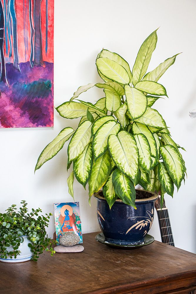 Sedum makinoi and Dumb Cane Plant  Dieffenbachia 39 best images on Pinterest Indoor house plants