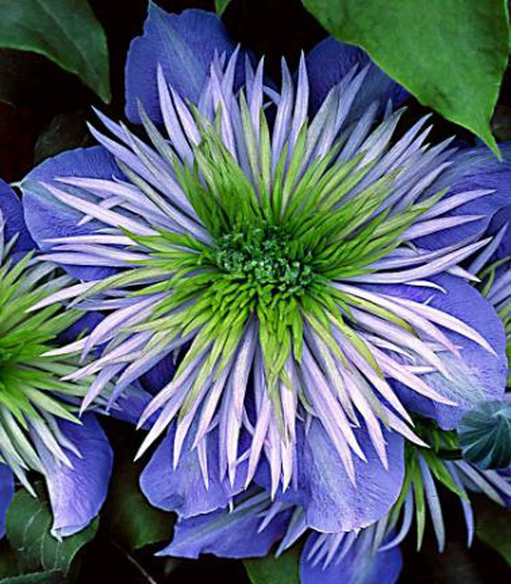Clematis 'Crystal Blue'