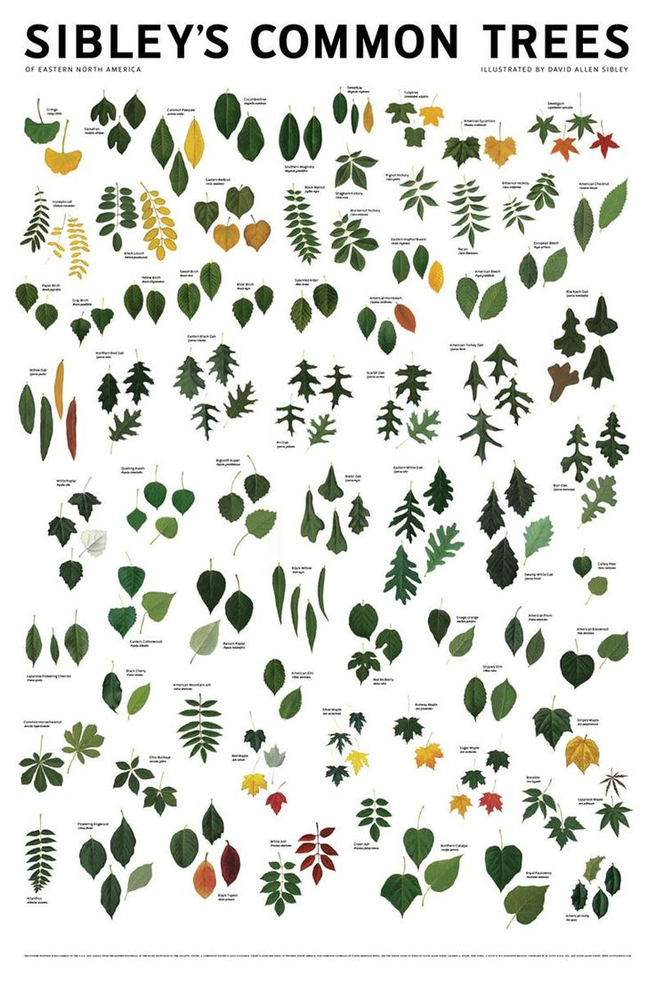 Sibleys Common Trees of Eastern North America Poster.