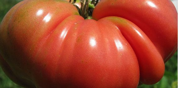 Tomato, Mortgage Lifter Tomato Seeds - 4lb Beefsteak Heirloom Beauties Very Prolific Grower
