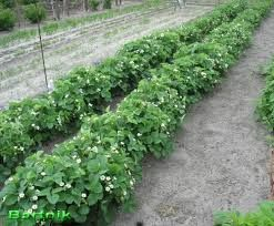 Znalezione obrazy dla zapytania warzywnik na działce