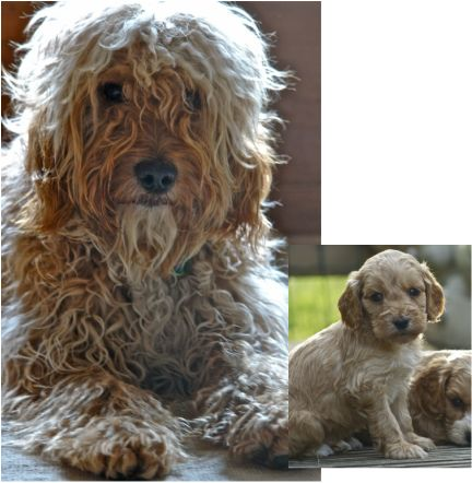 Cockapoo puppy/adult before and after Cockapoo puppies