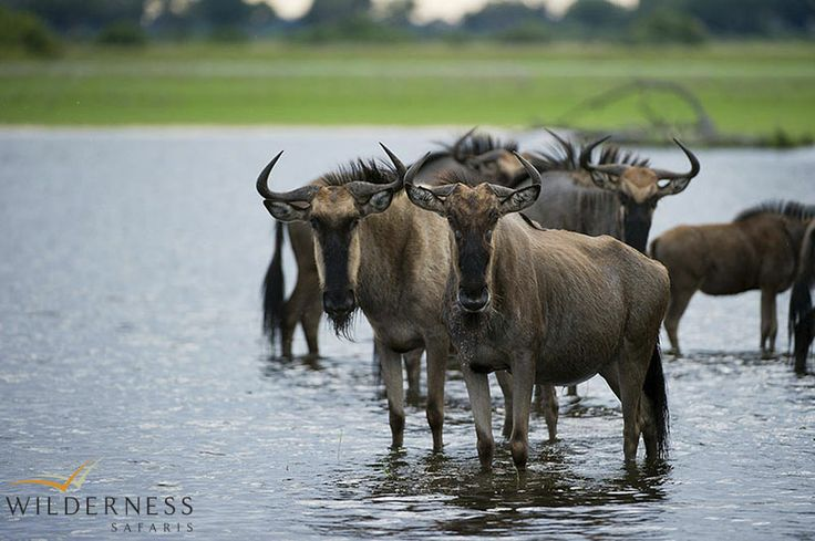 Jacana Camp - The drier west harbours similar species, with greater concentrations of  Burchell's zebra and blue wildebeest.   #Africa #Safari #Botswana