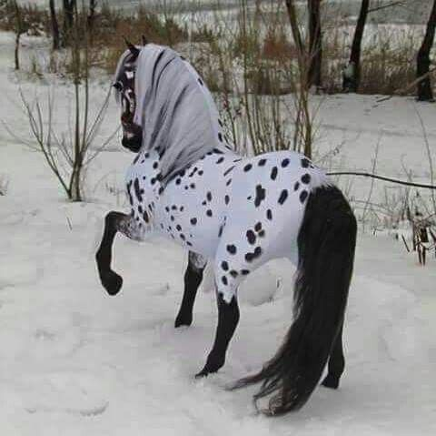 Appaloosa Frisian cross model, I am thinking this is a model horse, right?...beautiful.