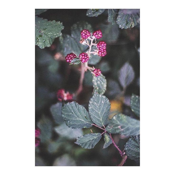 Zarzamora _ Blackberry imarchi      #zarzamora #berries #blackberries #blackberry #roadtrip #frio #sierra #cold #river #mountain #winteriscoming #sierrademadrid #navacerrada #puertodenavacerrada #madrid #igersmadrid #ig_madrid #themadridbible #instamadrid #spain #españa #picoftheday #photooftheday #mothernature   Imarchi photography  Also in Instagram here: http://ift.tt/2yTUDbS photographers on tumblr original photography Spanish photographers imarchi imarchi.com Madrid imarchi imarchi.com…