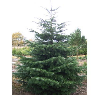 Buy Abies Nordmanniana Bare Root online from Jacksons Nurseries