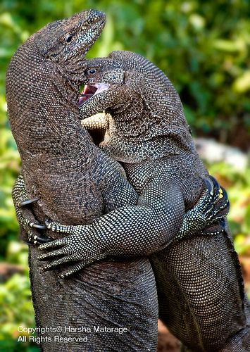 Monitor lizards | Flickr - Photo Sharing!