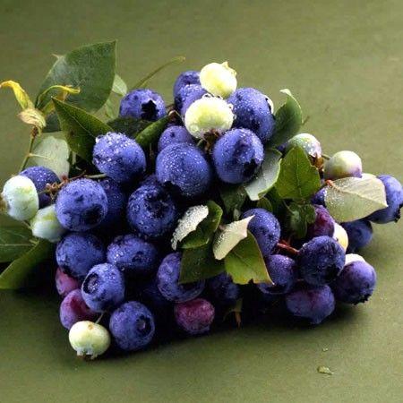 Myrtille à gros fruits 'Bluecrop'