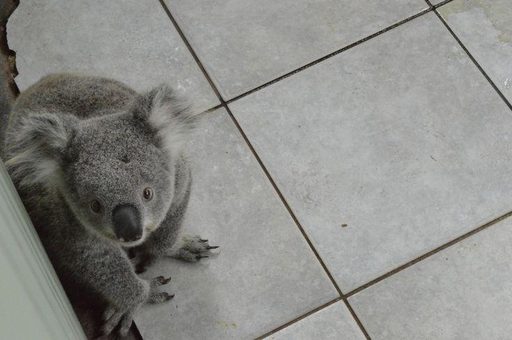 Baby koala at Symbio zoo // nawwww