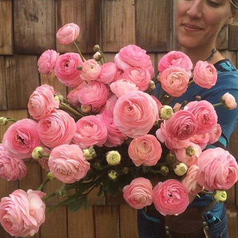 The #ranunculus are off the hook right now! Our best crop to date. Watch out Japan, we're coming for you  ‪#‎farmerflorist‬ ‪#‎flowerfarmer‬