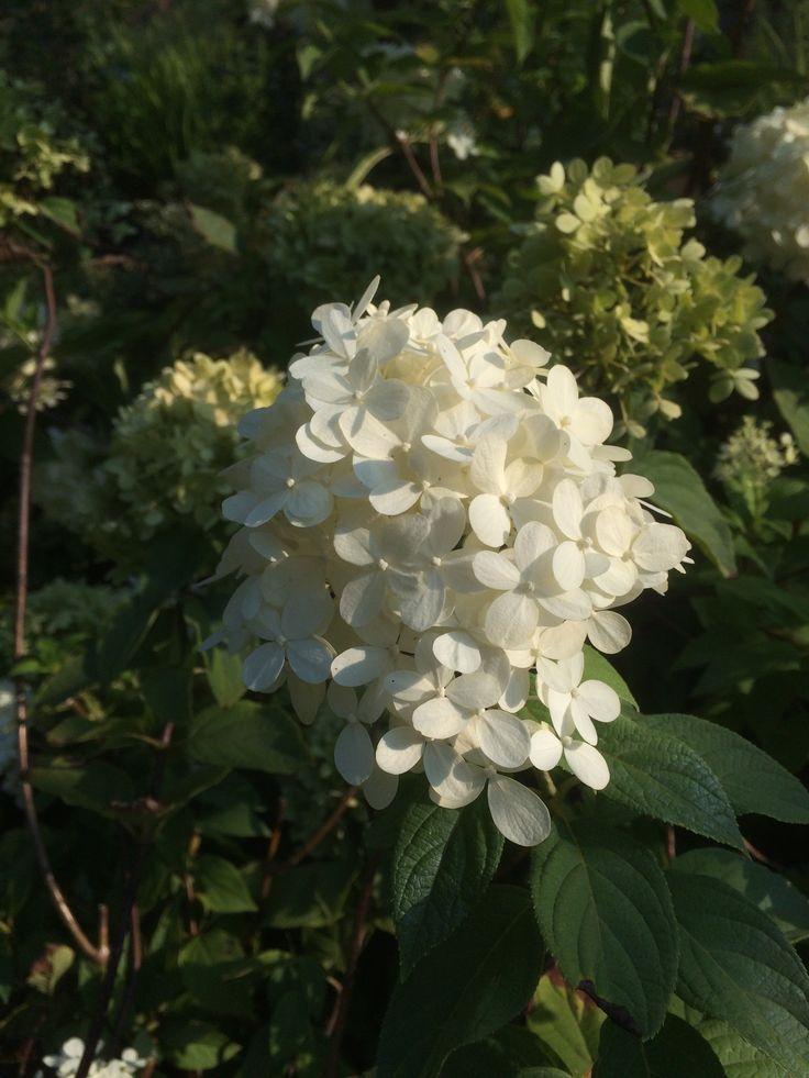 "Hydrangea paniculata ""Lime Light"" - Straordinario fiore di un bianco candido! ||| Ortensia bianca - White Hortensia - Weiße Hortensie"