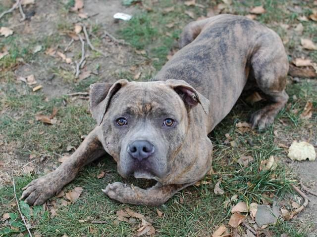 TOTAL PLEDGE he has $435 ..TO BE DESTROYED 11/22/13 Manhattan Center -P  My name is DIGI. My Animal ID # is A0984577. I am a male br brindle pit bull mix. The shelter thinks I am about 2 YEARS   I came in the shelter as a STRAY on 11/10/2013 from NY 10456, owner surrender reason stated was ABANDON.  https://www.facebook.com/photo.php?fbid=707984799214402&set=a.611290788883804.1073741851.152876678058553&type=3&theater