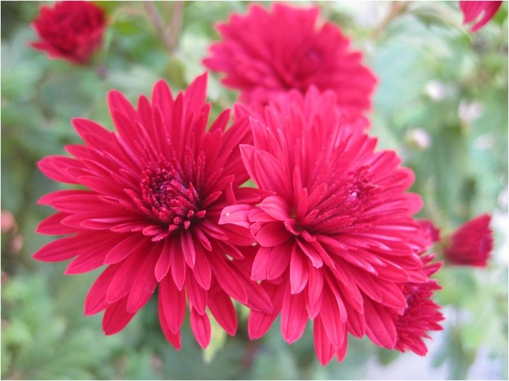 Red Chrysanthemum called Godawari in Local language.
