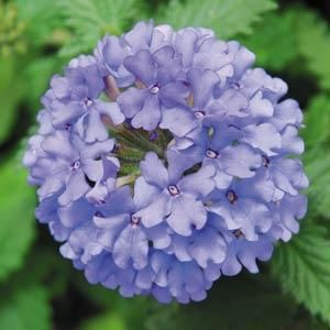 Verbena 'Denim Blue' is a very pretty light blue verbena. The edges of its petals are slightly darker highlighting the pale blue colour. Full trailer.