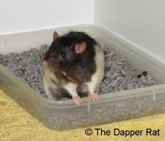 Use this site, especially when we first got our little rat. Litter training is easy!  litter training your pet rat and other great pet rat ideas