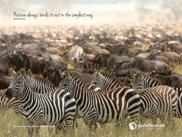 'Nature always tends to act in the simplest way.' Zebra The great Migration &Beyond Safaris Botswana.  Click here for downloadable #inspirational #migration #wallpapers: HD desktop: https://imglib_g2a.s3.amazonaws.com/img/20141223_032520_1_1.jpg iPad tablet: https://imglib_g2a.s3.amazonaws.com/img/20141223_032454_1_1.jpg