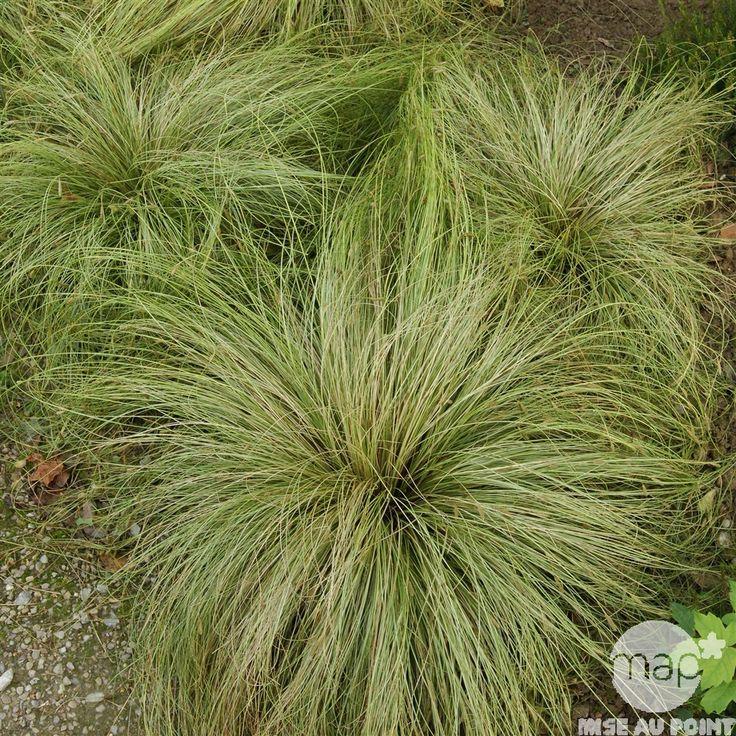 Carex morrowii ice dance : pot Ø 14cm (ne dépassent pas 50cm)