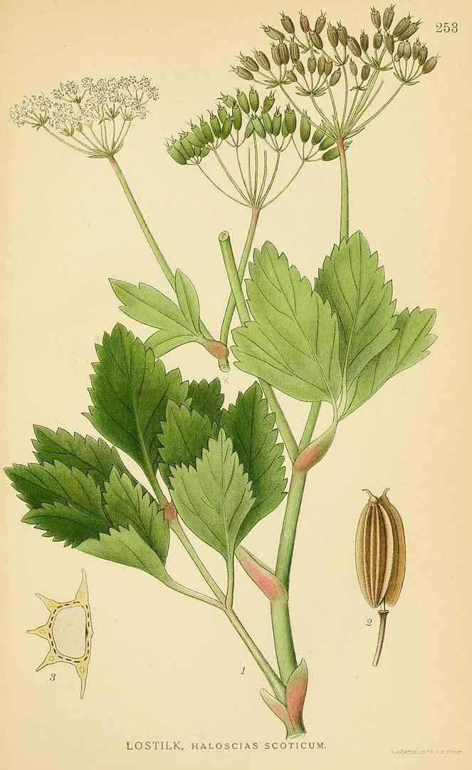 131509 Ligusticum scoticum L. / Lindman, C.A.M., Bilder ur Nordens Flora, vol. 2: t. 253 (1922-1926)