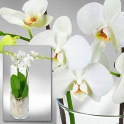 Weißer Orchideentraum in edler Vase