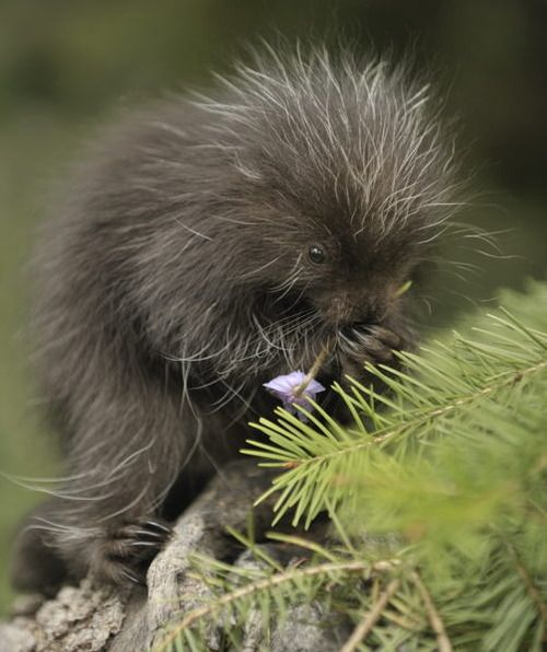 Baby porcupine eating a flower ok this is weird i never thought a porcupine could be cute!!!!!