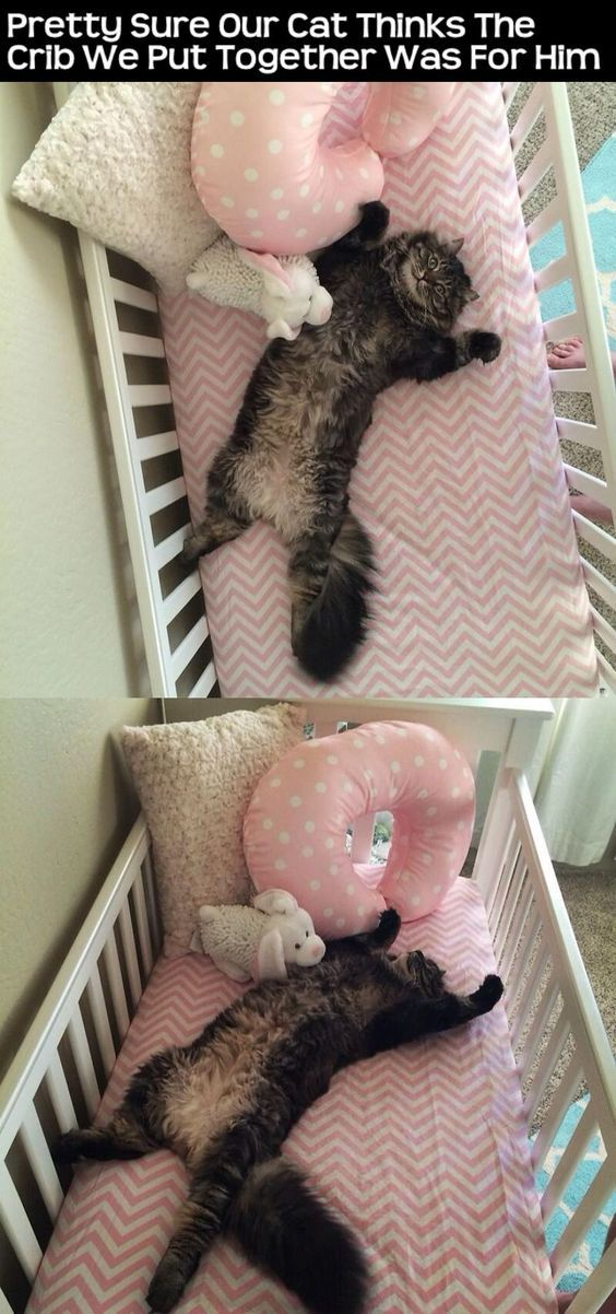 Pretty Sure Our Cat Thinks The Crib We Put Together Was For Him cute animals cat…