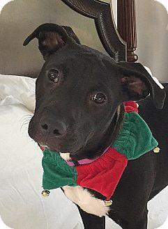 Natchitoches, LA - Boston Terrier Mix. Meet Sadie, a dog for adoption. http://www.adoptapet.com/pet/13859882-natchitoches-louisiana-boston-terrier-mix