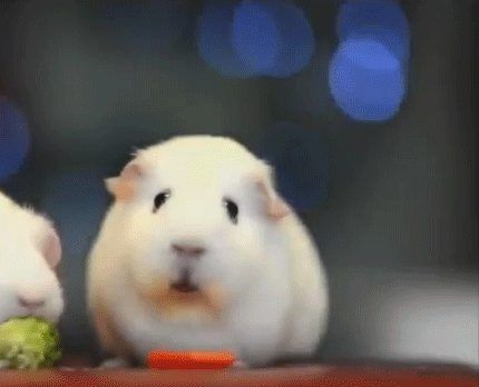 When you realize your species no spoken or written language and you're destined to eat vegetable shavings, drink water, and poop on wood chips in a cage until you die alone after four short years of life on this earth - GIF on Imgur