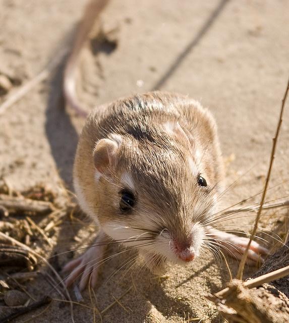 A Kangaroo Rat's Habitat