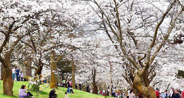 Toronto S High Park Cherry Blossoms Will Soon Be In Full Bloom In 2021 Toronto High Park Cherry Blossom Blossom