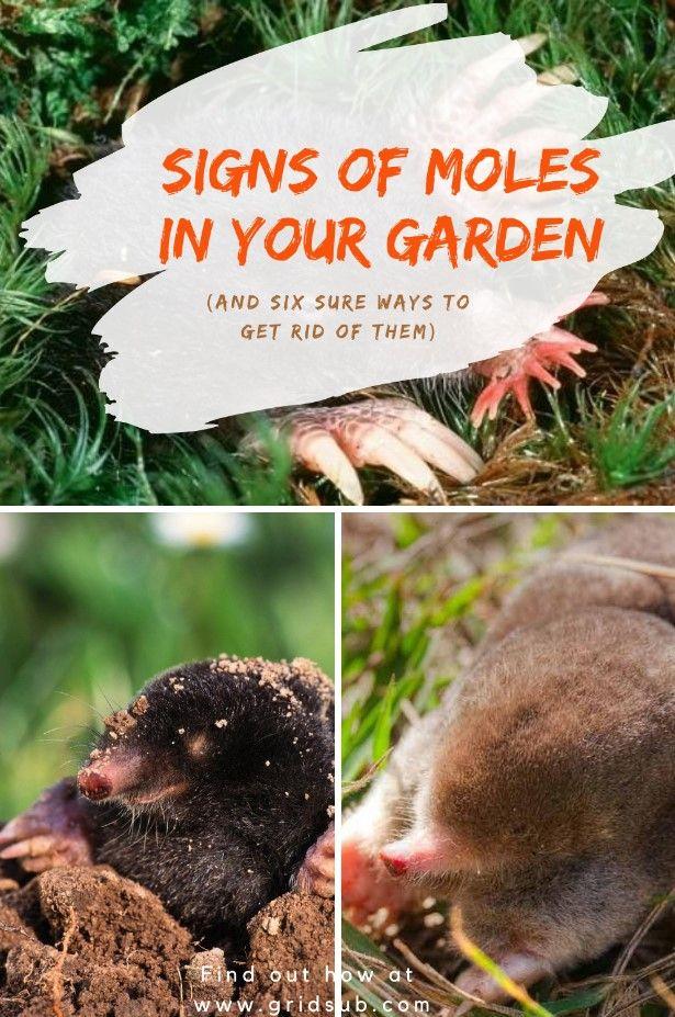 Signs Of Moles In Your Garden Grid Sub In 2020 Garden Grid Mole Repellent Edible Plants