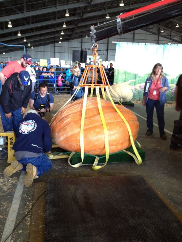 A giant pumpkin being weighed at the Alaska State Fair in Palmer, AK.   The best of three entries tipped the scale at 1,283 pounds.