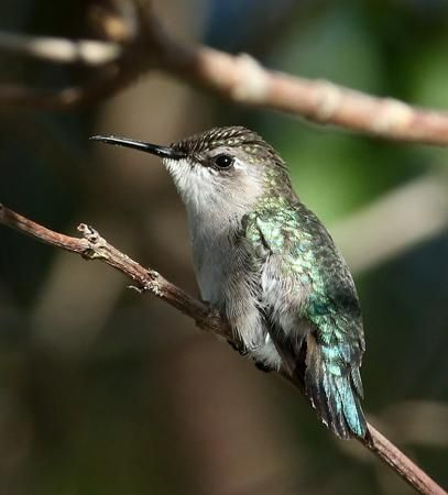 Bee Hummingbird (Mellisuga helenae) female