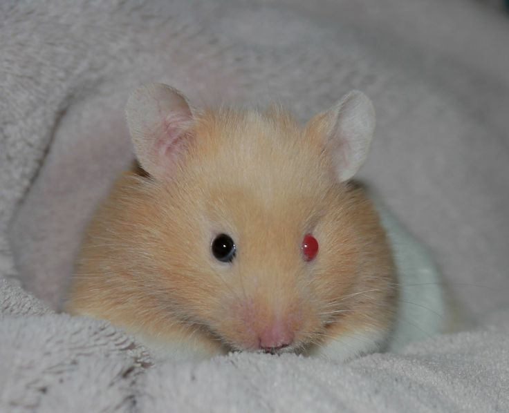 white dwarf hamster with red eyes - photo #18