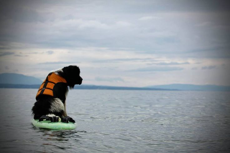 A perfect day with your Newfie! Water Rescue Training!