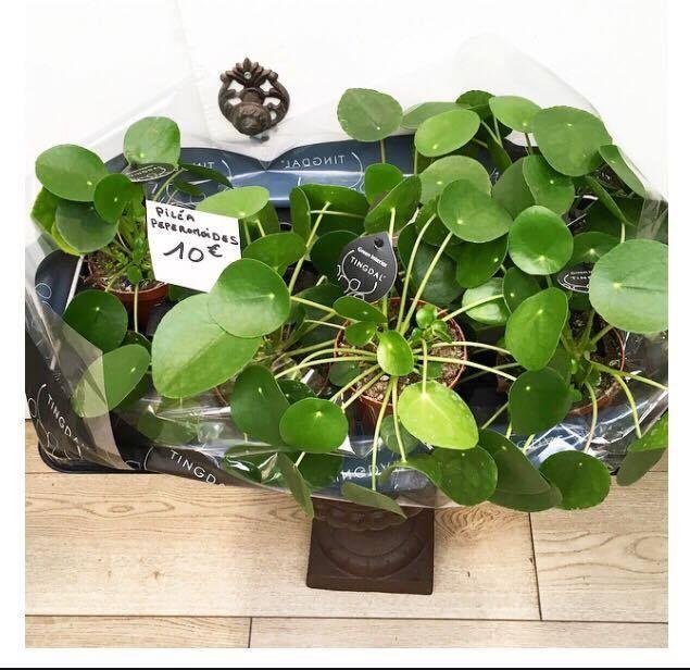 27 best plantes les pileaddict images on pinterest indoor house plants green plants and. Black Bedroom Furniture Sets. Home Design Ideas
