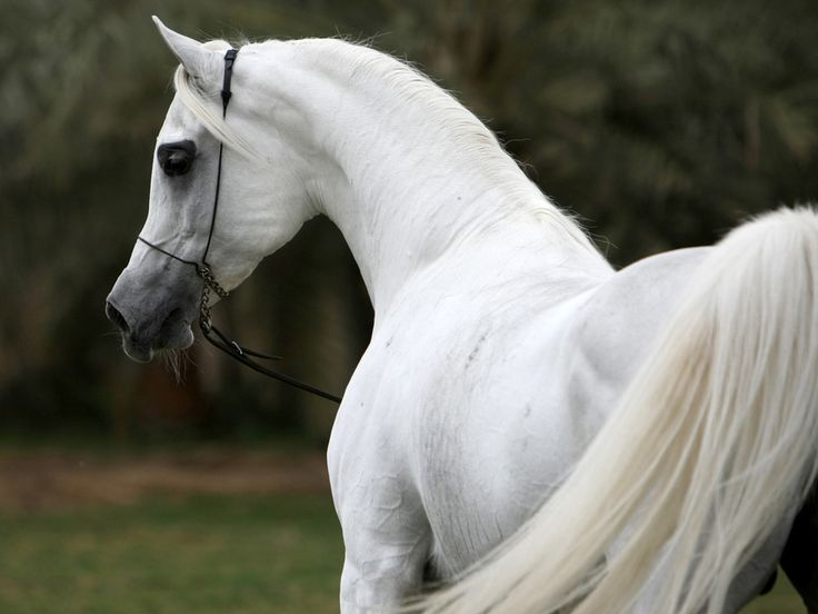 A Classic White Arabian Beauty.  My ultimate dream horse!