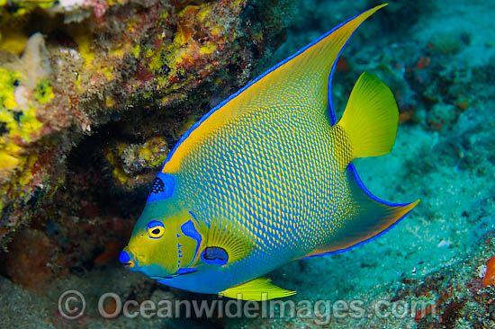 46 best images about caribbean on pinterest aquarium for Queen angel fish